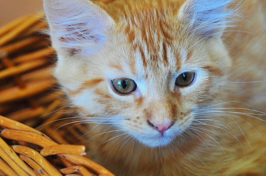 Orange Tabby Maine Coon Kitten Orange tabby maine coonOrange Tabby Maine Coon Kitten